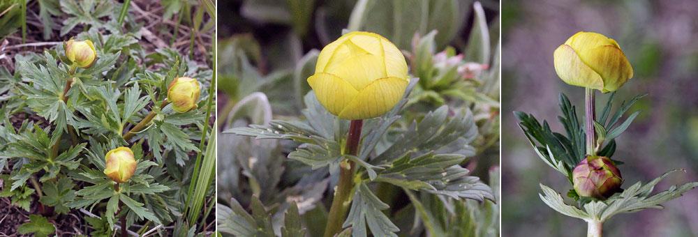 site web de gilbert jaccon fleurier num rique fiche florale du trolle d 39 europe trollius. Black Bedroom Furniture Sets. Home Design Ideas
